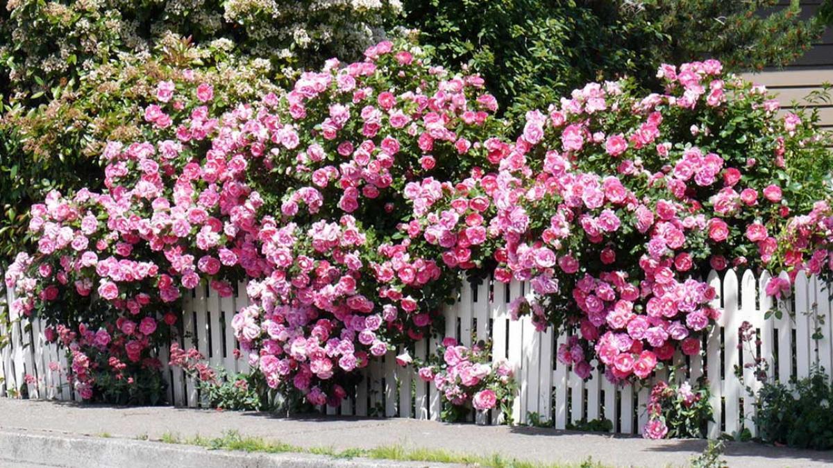 Giàn hoa sân thượng: Hoa hồng leo một trong những loại đẹp mà bạn nên trồng