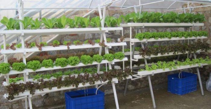 Thiết kế giàn trồng rau thủy canh trên thực tế khá đơn giản