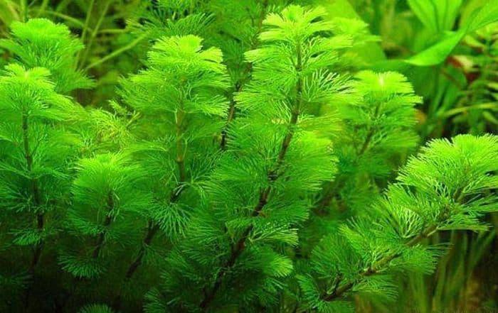 Rong đuôi chồn là một giống cây thủy sinh được rất nhiều người yêu thích