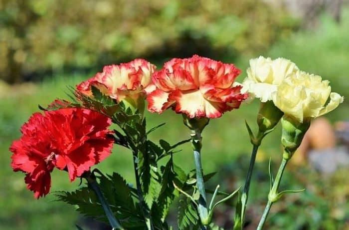 Hoa Cẩm chướng cũng là một trong cây cảnh nên trồng trong vườn