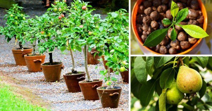 Bạn có thể dùng phân chuồng, phân NPK khi trồng cây ăn quả trong vườn nhà