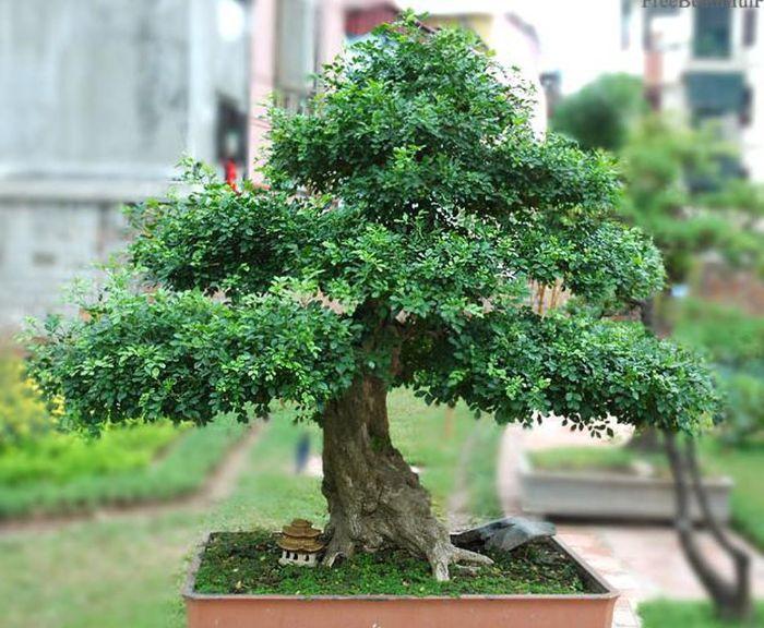 Cây nguyệt quế là loài cây vinh danh chiến thắng