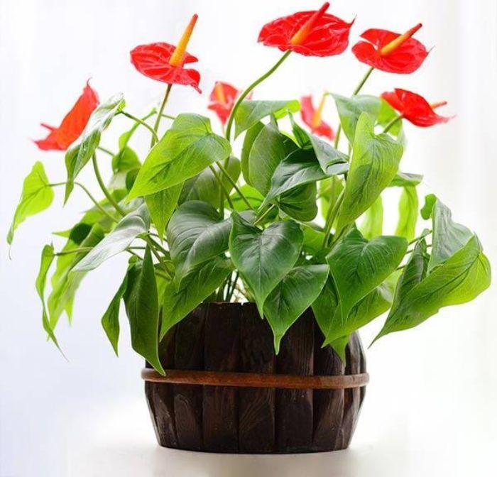 Hoa hồng môn là một trong các loại cây trồng trên tường được yêu thích