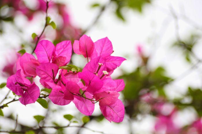 Hoa giấy là một trong các loại hoa đẹp nở quanh năm
