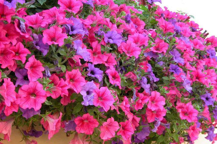 Hoa dạ yến thảo có màu sắc ngọt ngào, tỏa hương thơm ngát