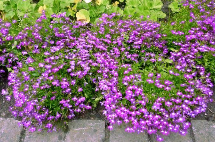 Hoa thúy điệp là một trong các loại hoa đẹp nở quanh năm