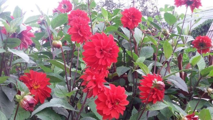 Hoa thược dược là một trong các loại hoa Tết dễ trồng