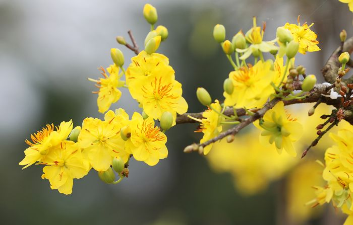 Hoa mai là hoa đặc trưng cho cái Tết của người miền Nam