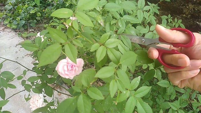 Cắt tỉa những cành cây hoa hồng chen chúc nhau