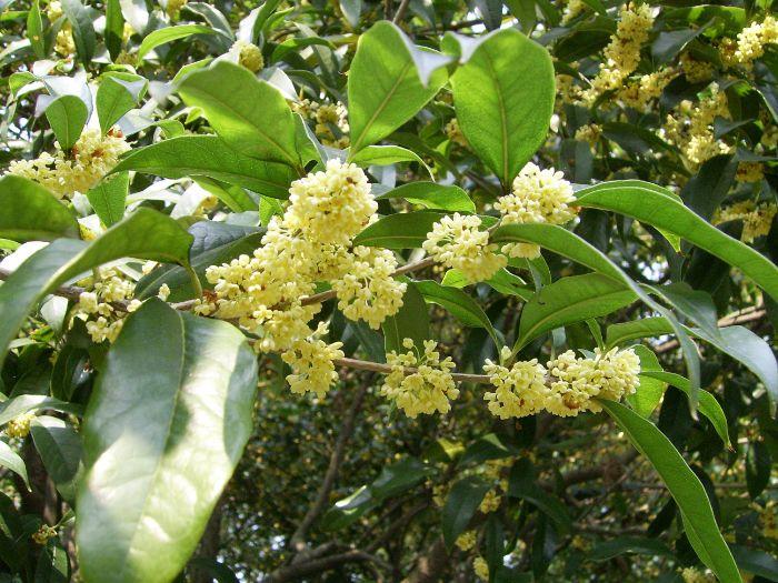 Kỹ thuật trồng và cách chăm sóc cây hoa mộc