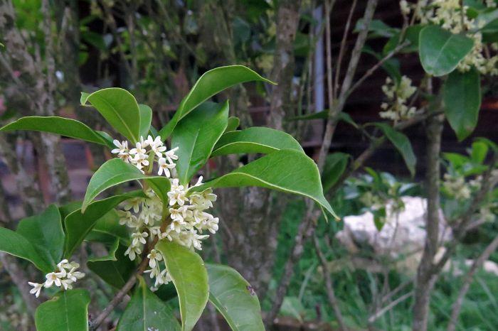 Cách chăm sóc cây hoa mộc như thế nào?