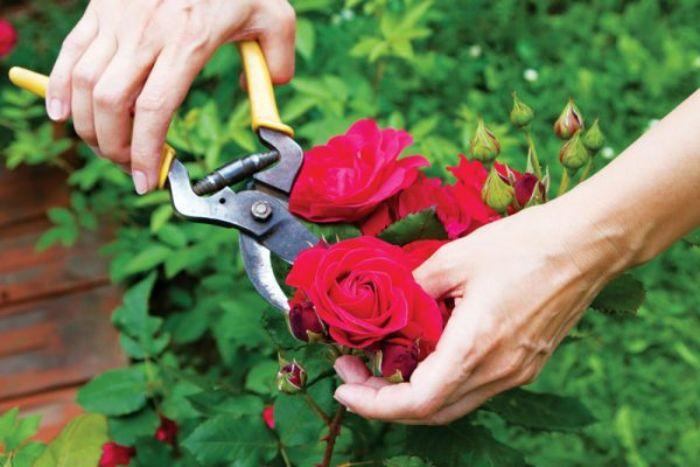 Cắt tỉa là một cách làm hoa hồng nở to