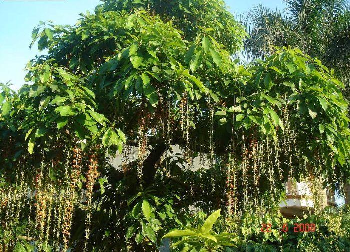 Lộc vừng là loại cây bóng mát ít rụng lá được rất nhiều gia đình lựa chọn