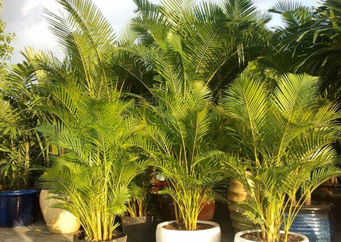 Cây cau vàng sở hữu tên khoa học là Chrysalidocarpus lutescen