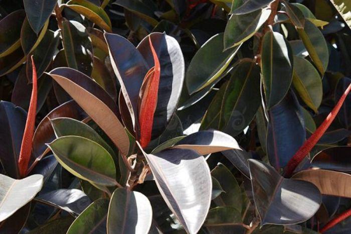 Cây đa búp đỏ thuộc dạng cây cảnh chịu được nắng nóng tốt