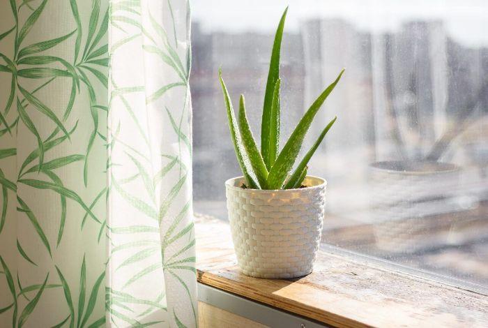Cây lô hội là một trong các cây hút khí độc trong nhà