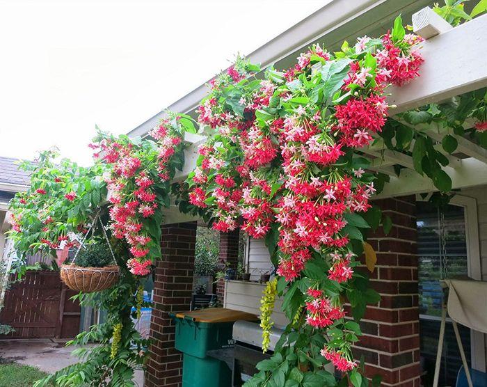 Hoa giun là cây trồng ban công chịu nắng được nhiều gia đình ưa chuộng