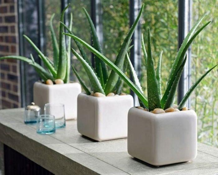 Cây nha đam trồng trong phòng ngủ giúp thanh lọc không khí