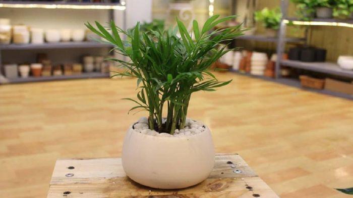 Cây cau tiểu trâm rất thích hợp để trồng trong phòng ngủ