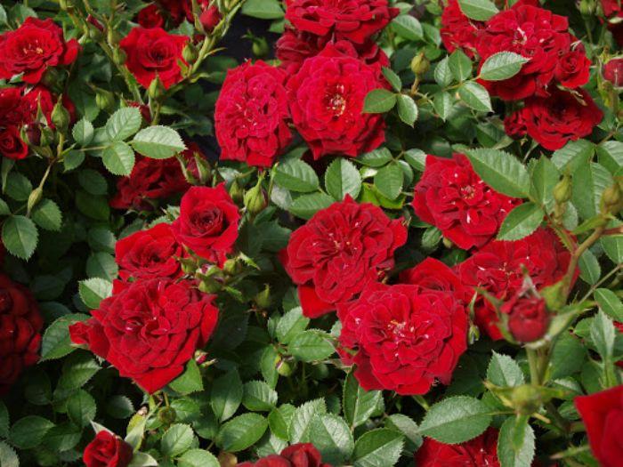 Hoa hồng leo có vẻ đẹp hoang dại, hương thơm nồng nàn