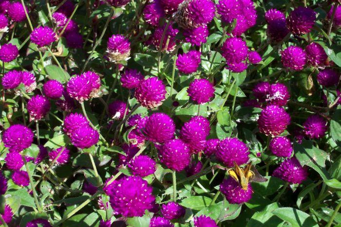 Hoa cúc bách nhật là loại hoa dễ trồng nở quanh năm