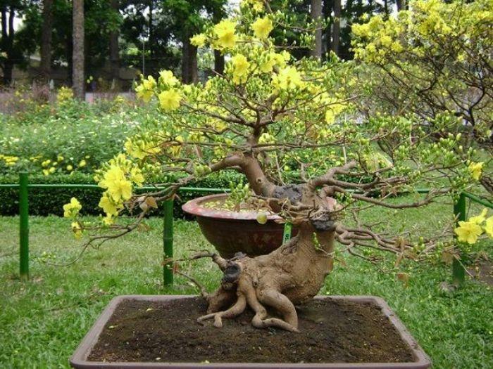 Mai vàng là một loại cây hoa đặc trưng của miền Nam Việt Nam