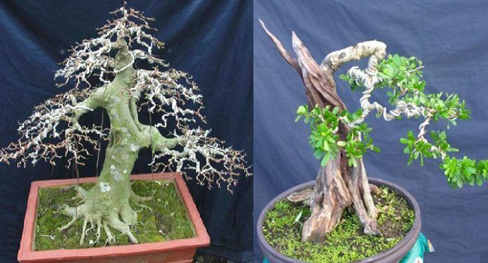 Kỹ thuật cắt tỉa cây mai cần đảm bảo đúng chuẩn nhằm tạo thế dáng đẹp