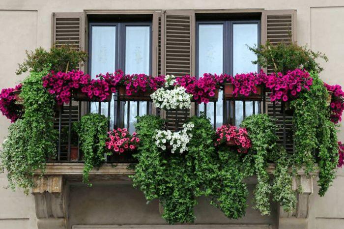 Thiết kế thiết kế vườn hoa ban công bằng các loại cây leo đã trở nên rất phổ biến