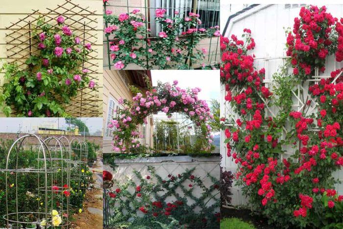 Trang trí tường sân vườn bằng cây hoa hồng leo