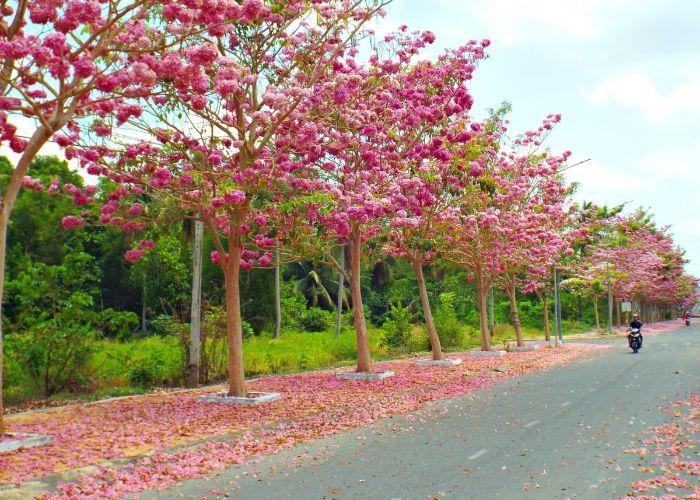 Cây kèn hồng là một trong những loại cây bóng mát