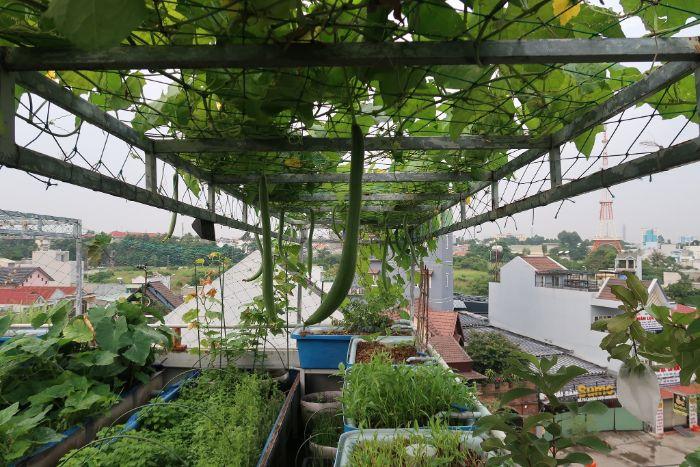 Cây leo trồng trên sân thượng xanh tươi