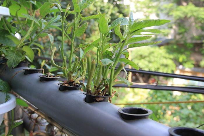 Trồng rau thủy canh vườn treo giúp thuận tiện hơn khi sản xuất rau sạch