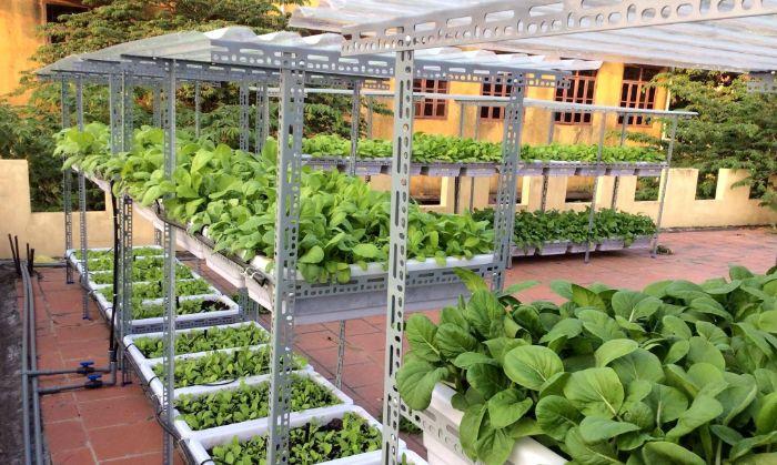 Trồng rau trên sân thượng là rau cải