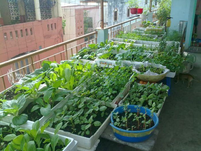 Rau mồng tơi có thể trồng quanh năm