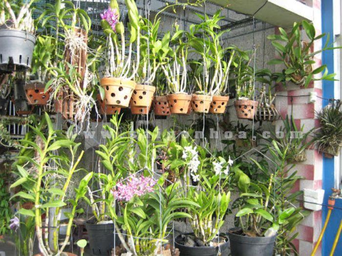Hoa phong lan trồng phổ biến trên sân thượng